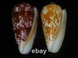 Conus floccatus 58.7-60.4mm SET OF TWO PCS GEM IMPORTANT GOLDEN TREASURE