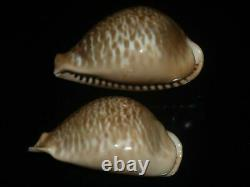 Cypraea donmoorei 63.8mm tristensis 63.5mm GEM SET OF TWO PCS