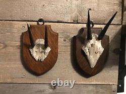Edward Gerrard Two Sets Of Dik Dik Horns And Cap, taxidemy Matching Serial No