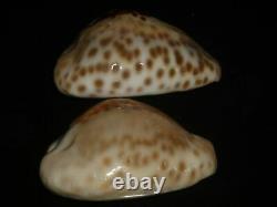 Cypraea Teulerei 47,1 + 45.8mm Gem Ensemble De Deux Pcs Contraste Beauties Modèle