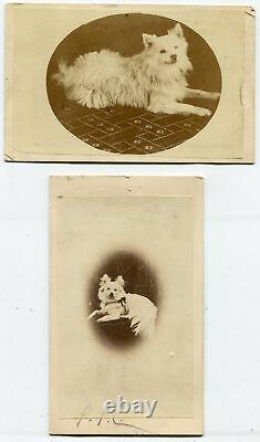 Furry White Dog Posed On Ornate Chair. Cdv, 2 Jeux. Surrey, Angleterre